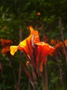 canna-lily.jpg